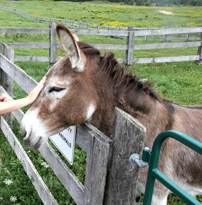 donkey pets